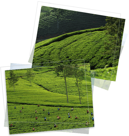 Tea plantation estates of MJF Exports in Sri Lanka