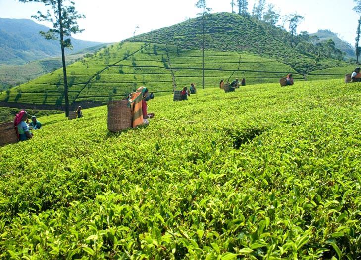 Tea Picking in Sri Lanka