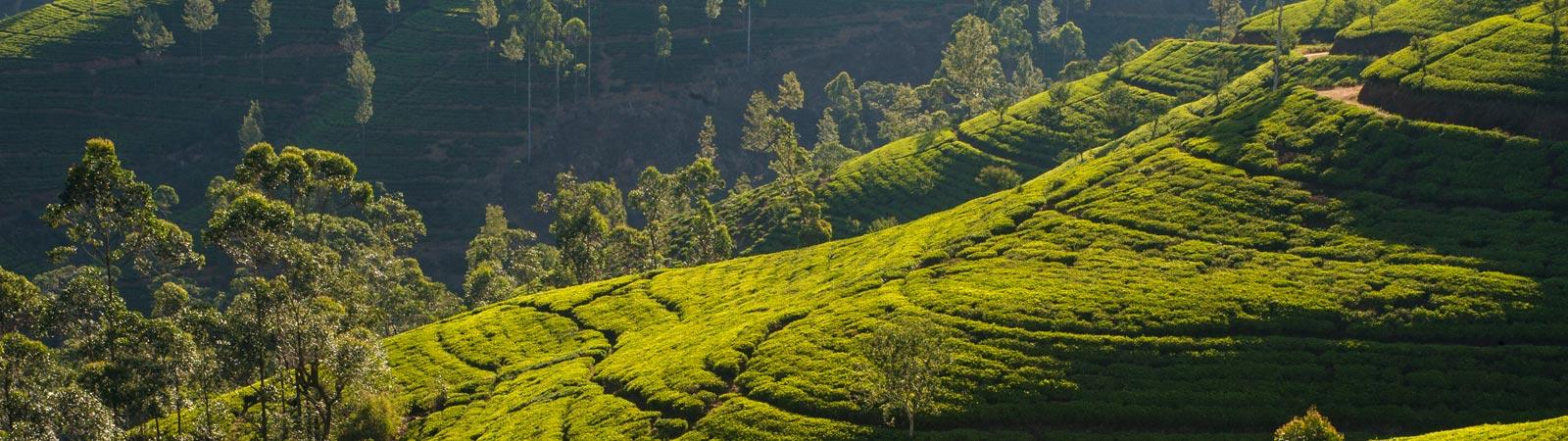 Tea Plantation estates of MJF Exports