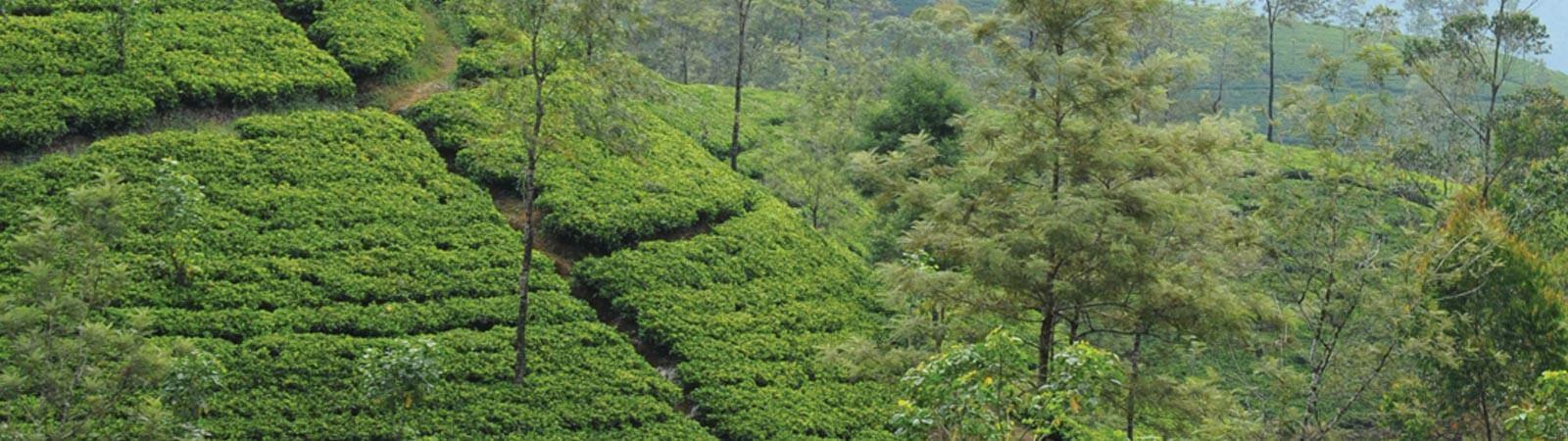 Tea production in Sri Lanka